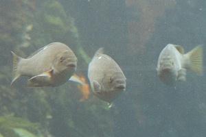 opaleye fish